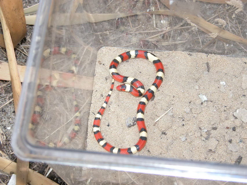 Scarlet King Snake(or is it a deadly Coral Snake?)